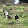 24th March<br /> All together in the Forestry, a beautiful spring morning perfect for walking dogs.  Bessie had a nasty upset tummy - severe diarrhea, thankfully it happened outside!  <br /> <br /> I was going to rest her today because of this but she had other ideas and so did Dusty. We  walked in the woods at Masbury at around 3 o'clock and then again in Harptree Woods at about 5pm.  Both her and Dusty asked to come on the last walk so why not?  I'd rather have a knackered but happy dog on her last legs through doing doggy things than a sad, miserable one.<br /> <br /> The biggest surprise of all came at suppertime, she came into the kitchen looking  at me with the expression that used to say 'I'm hungry', but hasn't of late, so I gave her some Hills AD, and more, then more again.  She ate a whole tin - 150gm from her bowl! It's the first time she's eaten from her bowl in weeks.