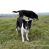 22nd March - Afternoon<br /> Bessie and Abbie - This was on our walk today at Ashen Hill Barrows - 6 dogs enjoying their freedom, the others are digging up mole hills.  <br /> <br /> Despite being slow going up the hill Bessie seemed to be enjoying the afternoon walk, especially when we stopped for food.  I have to be more and more inventive to get her to eat, so today I took some chicken breast with me, and Schmackos.  She ate about 75 gms of chicken and a couple of Schmackos, while the others jostled for their treats too.