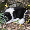 "There should be a ""Do Not Disturb"" sign here! She's lying on what was a very nice clump of Tete a Tete daffodils!"