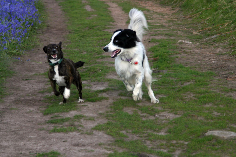 Chipper and Blue chasing each other