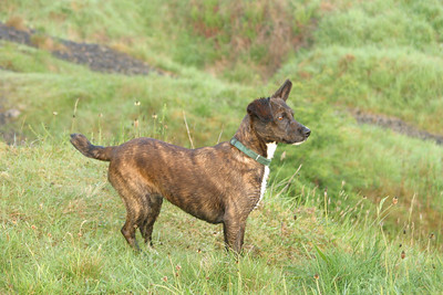 Chipper watches the other dogs chasing something
