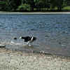 This is Fly, who had a front leg amputated, running through the water's edge at Blagdon Lake with her useless front leg still attached!  - 1996/7 ?