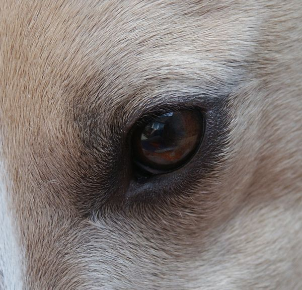 Bowie's left eye. Bowie is a fawn and white male Whippet.