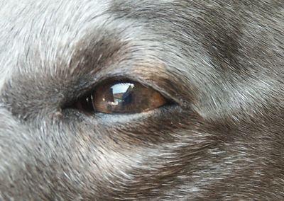 Whippet Eyes