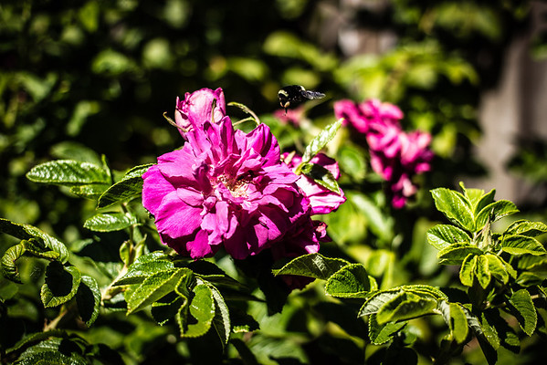 Bumblebee alighting from rugosa rose