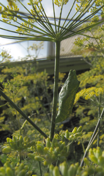 Black Swallowtail Caterpillar on Fennel<br /> July 28, 2013