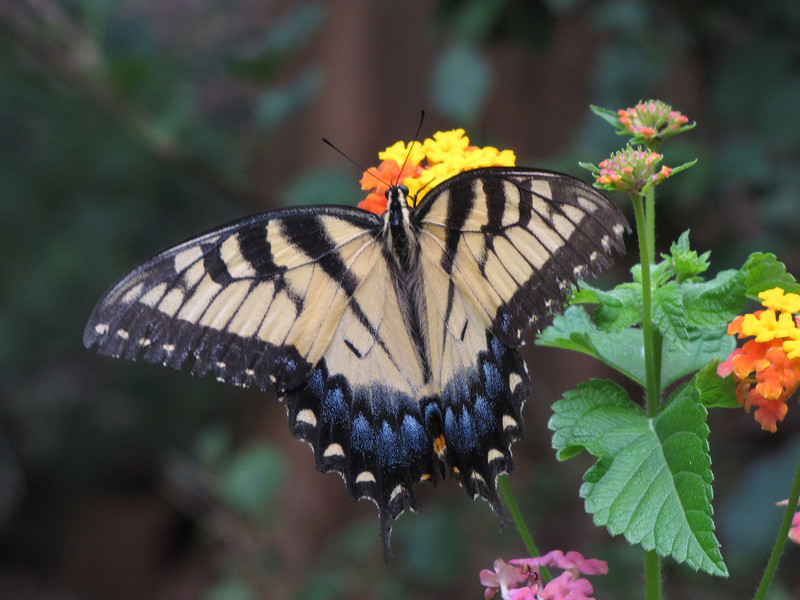 Yellow Swallowtail Butterfly<br /> July 30, 2013