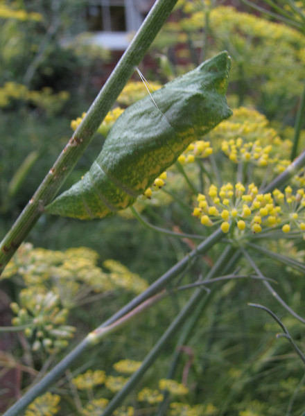 Black Swallowtail Chrysalis<br /> July 30, 2013