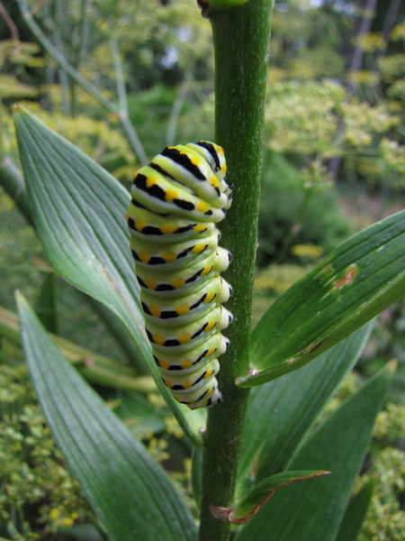 Black Swallowtail preparing to pupate<br /> July 30, 2013