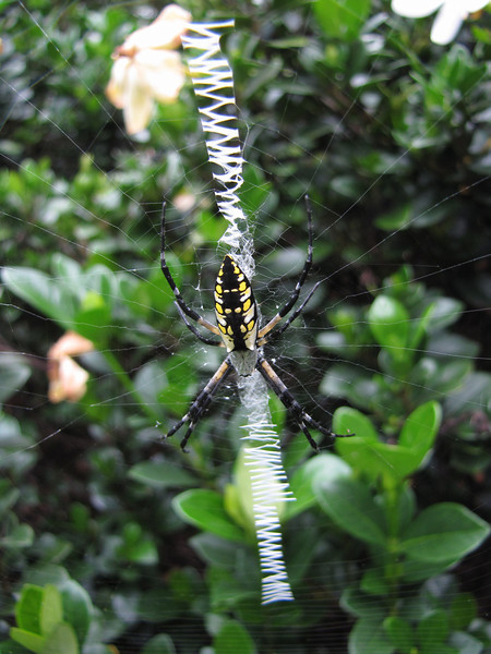Argiope Spider<br /> July 30, 2013