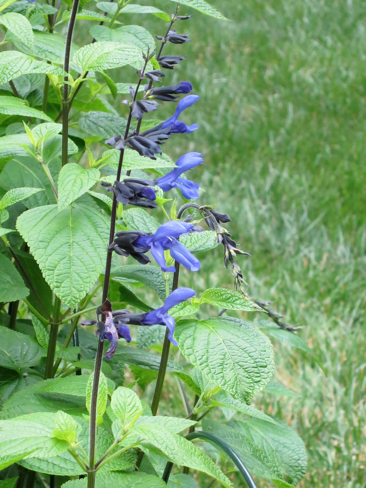 Black and Blue Salvia<br /> June 9, 2013