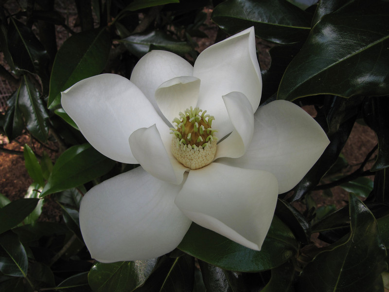 Kay Parris Magnolia<br /> May 31, 2013
