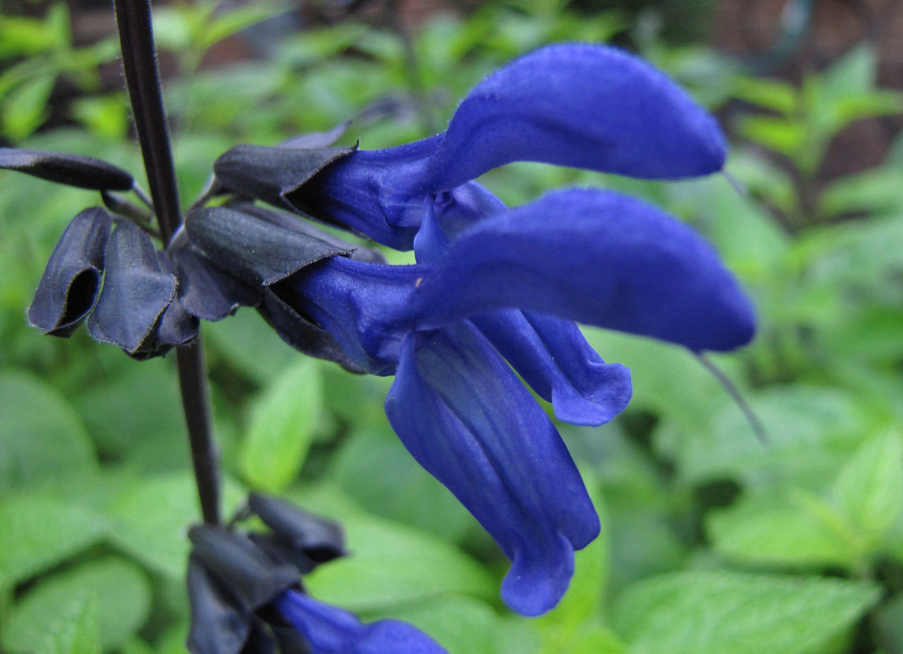 Black and Blue Salvia <br /> June 4, 2013