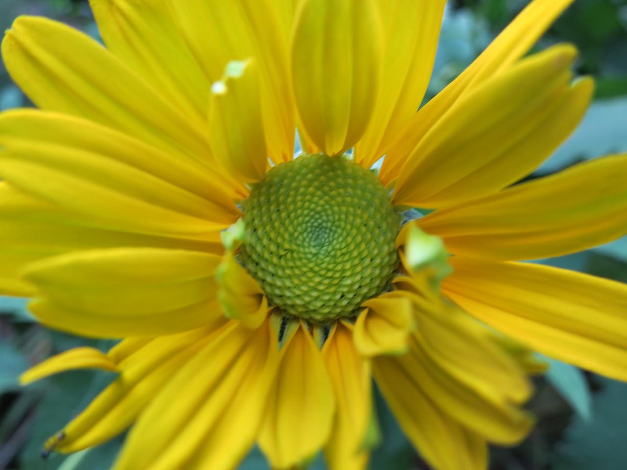 Venus False Sunflower<br /> June 9, 2013