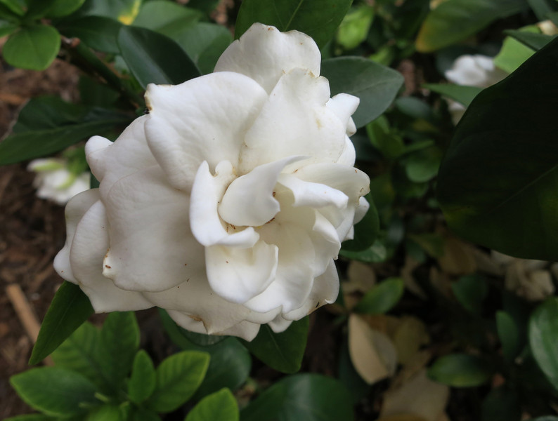 Gardenia 'Crown Jewel'<br /> June 9, 2013