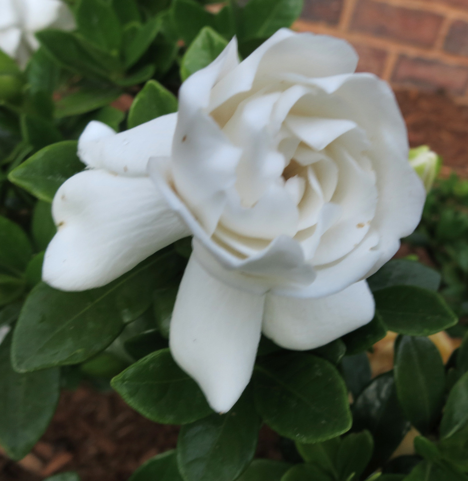 Gardenia 'Crown Jewel'<br /> June 11, 2013