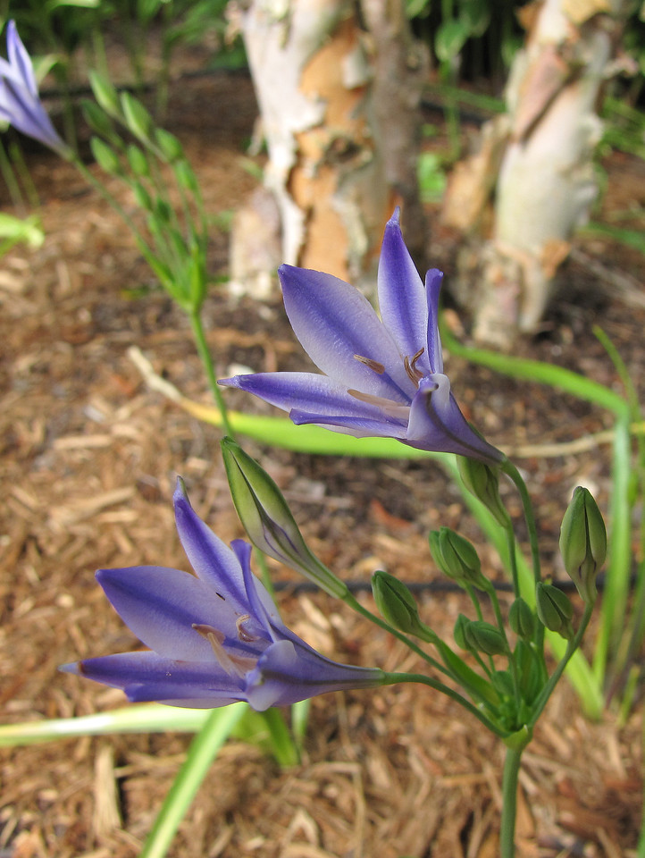 Triteleia Queen Fabiola<br /> June 4, 2013