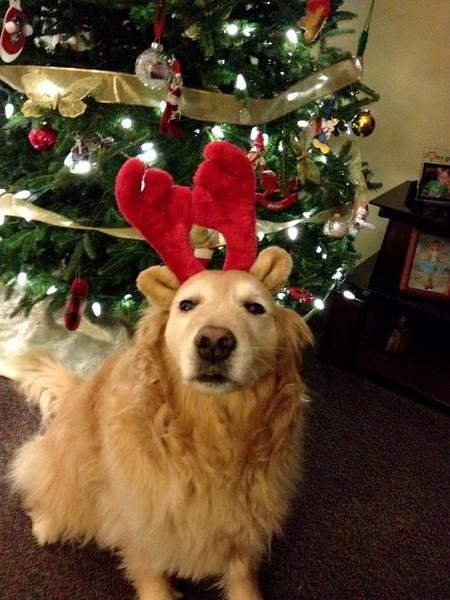 Tyra enjoying her reindeer ears.