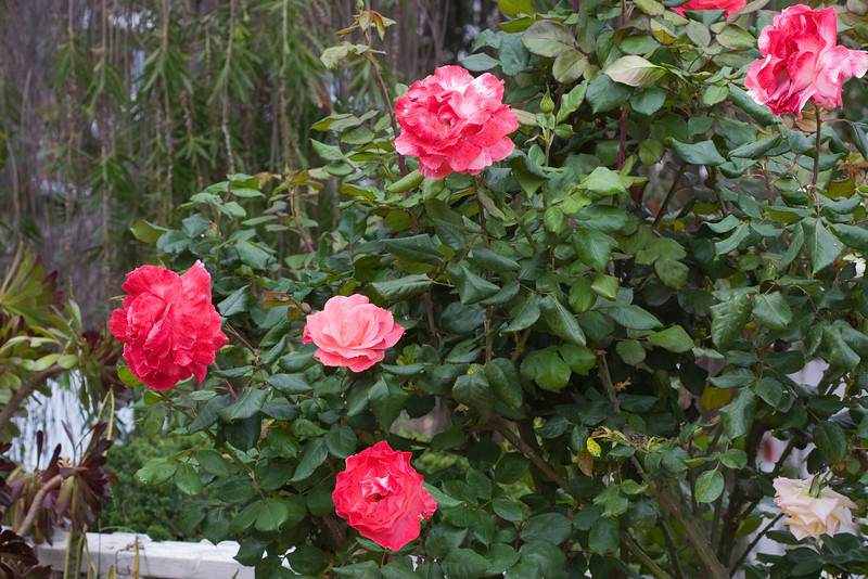 Jumbo Roses in April