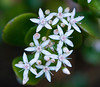 Jade Blossoms