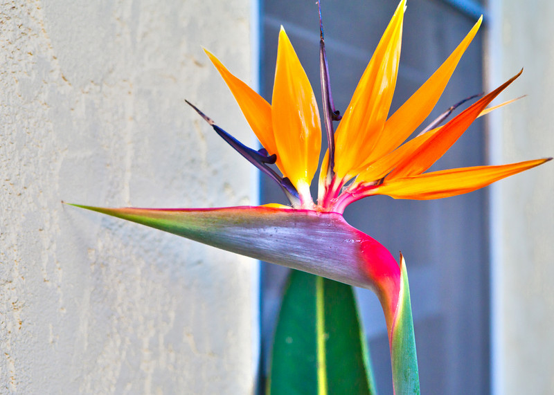 bird of paradise HDR
