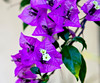 Purple Bougainvillea 1