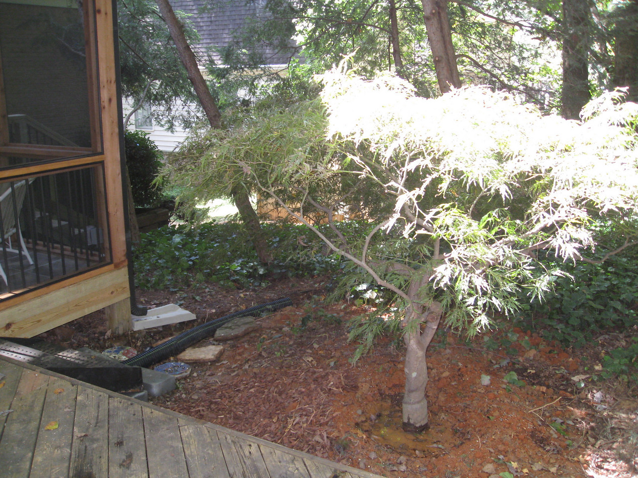 JAPANESE MAPLE  NOW PLANTED IN GROUND NEXT TO DECK