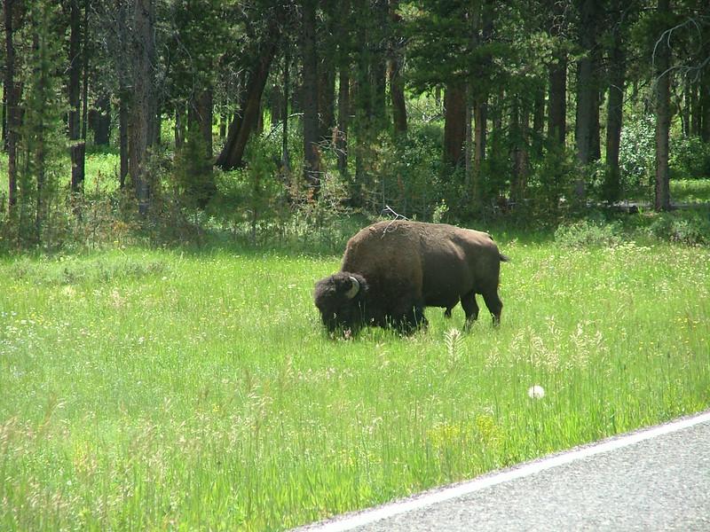 Big guy in Yellowstone.