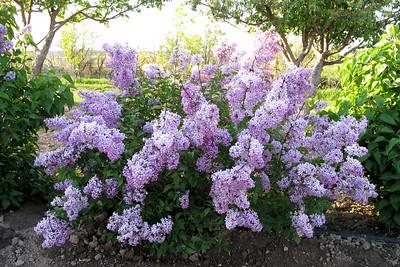 Lilacs, Fawn 015