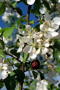 Siberian Crab Apple blossoms (and a hanger-on apple from last year)
