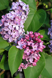Lilacs, Fawn 023