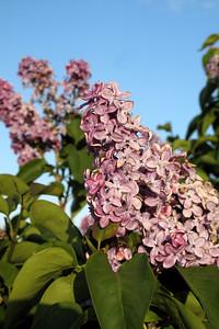 Lilacs, Fawn 020