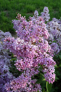 Lilacs, Fawn 026