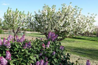 May 31, 2009 Siberian Crab Apples and Lilacs