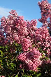 Lilacs, Fawn 017