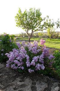 Lilacs, Fawn 013