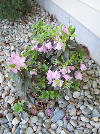 Landscaping - Front Yard '07