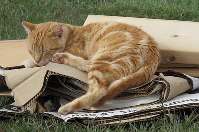 Selby taking a nap on cardboard wrapper that siding for the house came in.
