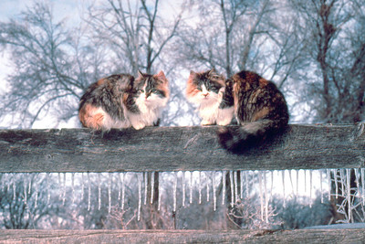 Winter 1983 Spooky and Mohawk  Curiosity drew these two cats to the corral fence following a late winter rain that coated everything in ice. I was out watching a cow that was calving, checking to make sure everything was going alright. They wanted to know what was going on as well.