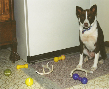Summer 2001:  Jessie herding her toys onto the rug in front of the refrigerator