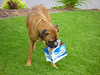 The next Kokanee commercial...a boxer carrying around a six pack.