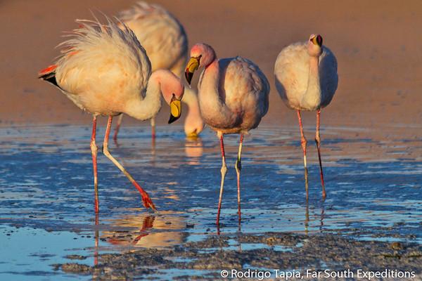 Puna Flamingo (Phoenicoparrus jamesi)
