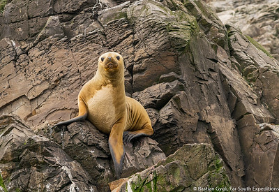 South American Sea Lion, Lobo Marino Común (Otaria flavescens)