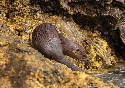 Marine Otter, Chungungo (Lontra felina)