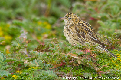 Correndera Pipit, Anthus correndera