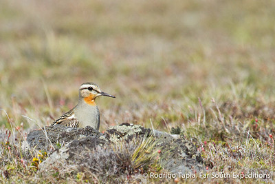 Tawny-throated Dotterel, Oreopholus ruficollis