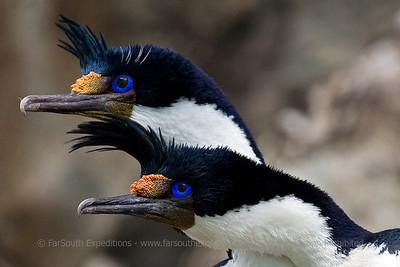 Imperial Cormorant, Phalacrocorax atriceps albiventer