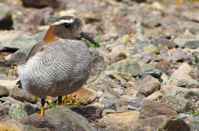 Diademed Sandpiper-Plover, Phegornis mitchellii