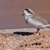 Puna Plover, Charadrius alticola