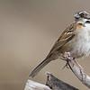 Rufous-collared Sparrow, Zonotrichia capensis